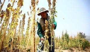 Por indicación de la FAO pasamos la semilla de la quinua a 46 países, eso no era parte de nuestro esquema