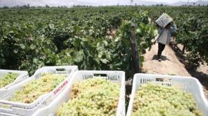 Precio de uvas pisqueras y vitivinícolas cayó 25% en la actual campaña