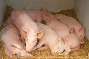 Presencia de peste porcina africana en las Américas pone en riesgo seguridad alimentaria de la región y medios de vida de productores