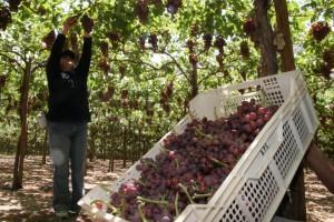 Producción agrícola de la región Ica cayó 0.9% entre enero y septiembre de 2020