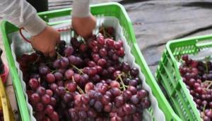 Producción de uva de mesa de Perú crecería 11.4% este año