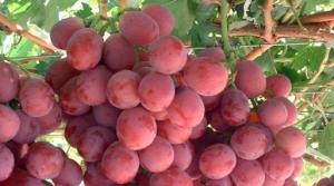 Producción de uva de mesa disminuiría 10% en la campaña 2017/2018