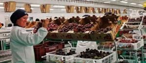 Producción de uva de mesa en Piura sería en volumen un 50% inferior