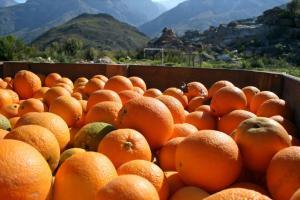 Producción global de naranjas para campaña 2020/2021 llegaría a 48.6 millones de toneladas
