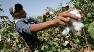 Producción mundial de algodón alcanzará las 25.2 millones de toneladas en la campaña 2020/2021