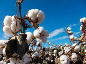 Producción mundial de algodón alcanzaría los 25 millones de toneladas en la campaña 2021/2022