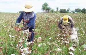 Producción mundial de algodón en la campaña 2020/2021 alcanzaría las 25.3 millones de toneladas, registrando una caída de 4.6%