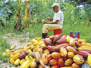 Producción nacional de cacao en grano se incrementa en promedio 15.6% anual en la última década