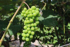 Productores de Azpitia obtendrán primera cosecha de uvas pisqueras abonadas con guano de islas