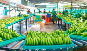 Productores de banano afrontan alza de costos por medidas de bioseguridad contra fusarium