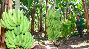 Productores de banano orgánico en el  valle del Chira dejan de exportar más de US$ 275 mil a la semana por menor producción