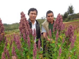 Productores de quinua solicitan al Gobierno acelerar negociaciones de protocolo fitosanitario para exportar a China