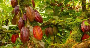 Productores evalúan los peligros asociados al cambio climático sobre los cultivos de café y cacao en la Selva Central
