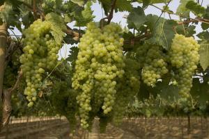 Productores ofrecen más de 6 millones de kilos de uva iqueña