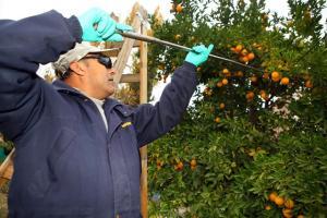 """""""Programa de erradicación de la mosca de la fruta no tiene presupuesto en Cusco"""""""