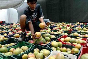 Proyectan declinación en los volúmenes de exportación de mango peruano