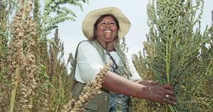 Puno concentra el 55.5% del total de hectáreas de quinua del país