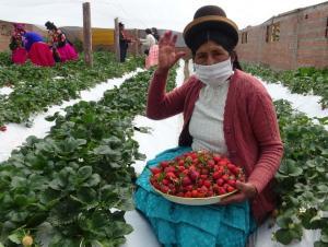 Puno: el cultivo de fresa se ha convertido en el emprendimiento estrella de Acora