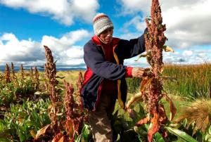 Puno siembra más de 36 mil hectáreas de quinua al año