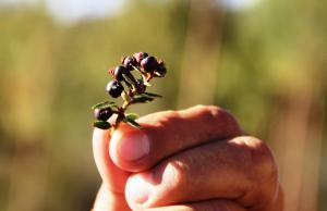 Pushgay, el berry nativo con gran capacidad antioxidante que podría ser una futura superfuta de exportación