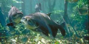 Reactivación económica: San Martín potenciará su acuicultura con especies amazónicas