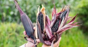 Realizan evento virtual para promocionar maíz morado INIA 601