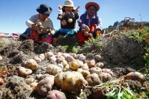 Regiones de la sierra concentran más del 95% de las áreas de papa en Perú