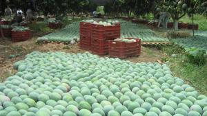 Restricciones de la Unión Europea ponen en riesgo US$ 148 millones de exportación de mango