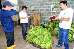 San Martín potencia la producción de plátano para llegar a más mercados