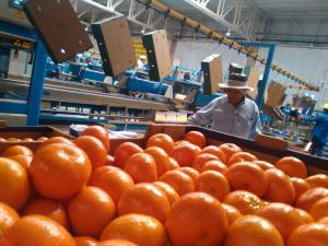 San Miguel apuesta por mayores cultivos de uva y mandarina