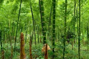 Semana del bambú 2021 mostrará trabajo de mesas técnicas en siete regiones