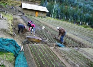 Sembrarán 10 mil platones de pino y otras especies forestales maderables en Cajamarca