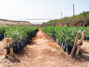 Sembrarán 10 millones de plantones en la Mancomunidad Regional de los Andes durante la campaña de reforestación y forestación 2020/2021