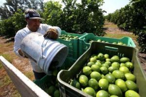 Sembrarán 115 hectáreas de kión y limón tahití en Loreto
