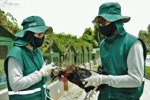 Senasa apunta a vacunar más de 356 mil aves contra enfermedad de Newcastle en 2021