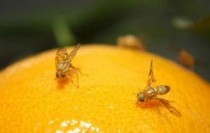 Senasa busca erradicar mosca de la fruta en 103 mil hectáreas de la costa y sierra