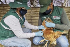 Senasa descarta influenza aviar en tres provincias de la región Arequipa