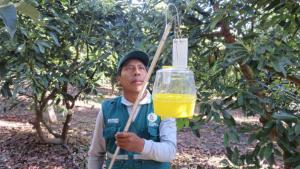 Senasa erradicará mosca de la fruta en 23 mil hectáreas de cultivos en beneficio de 4.800 productores