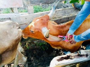 Senasa identificará ganado del Perú con uso de aretado