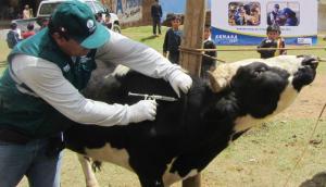 Senasa inicia campaña de vacunación de bovinos para prevenir el Carbunco sintomático y Edema maligno