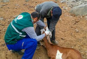 Senasa inició vacunación contra la Brucelosis Caprina