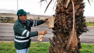 Senasa libera 20 millones de moscas de la fruta estériles cada semana en Tacna