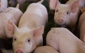 Senasa prohíbe importación de cerdos y sub productos de países afectados por la Peste Porcina Africana