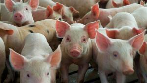 Senasa refuerza medidas para prevenir ingreso de peste porcina africana al país