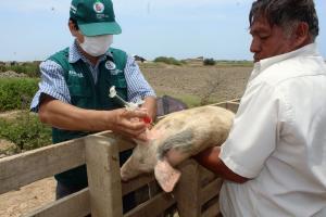 Senasa vacunará cerdos contra Peste Porcina Clásica en Lurín