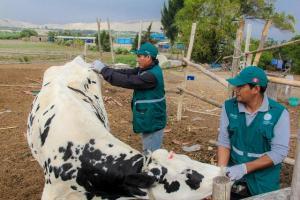 Senasa vacunó más de 11 mil animales contra el ántrax