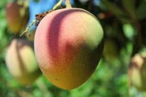 Senasa y productores de mango fortalecerán acciones sanitarias para mantener exportación a Europa