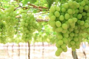 SNFL instaura protocolo para enviar nuevas variedades de uva directamente desde España a Perú