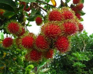 Solo una décima parte de ciertas frutas tropicales acaba en el mercado mundial