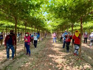 Sunafil: más de 3 mil trabajadores agrarios de Ica fueron incorporados a planilla durante inspecciones